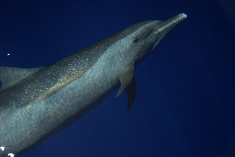 A pantropical spotted dolphin underwater.