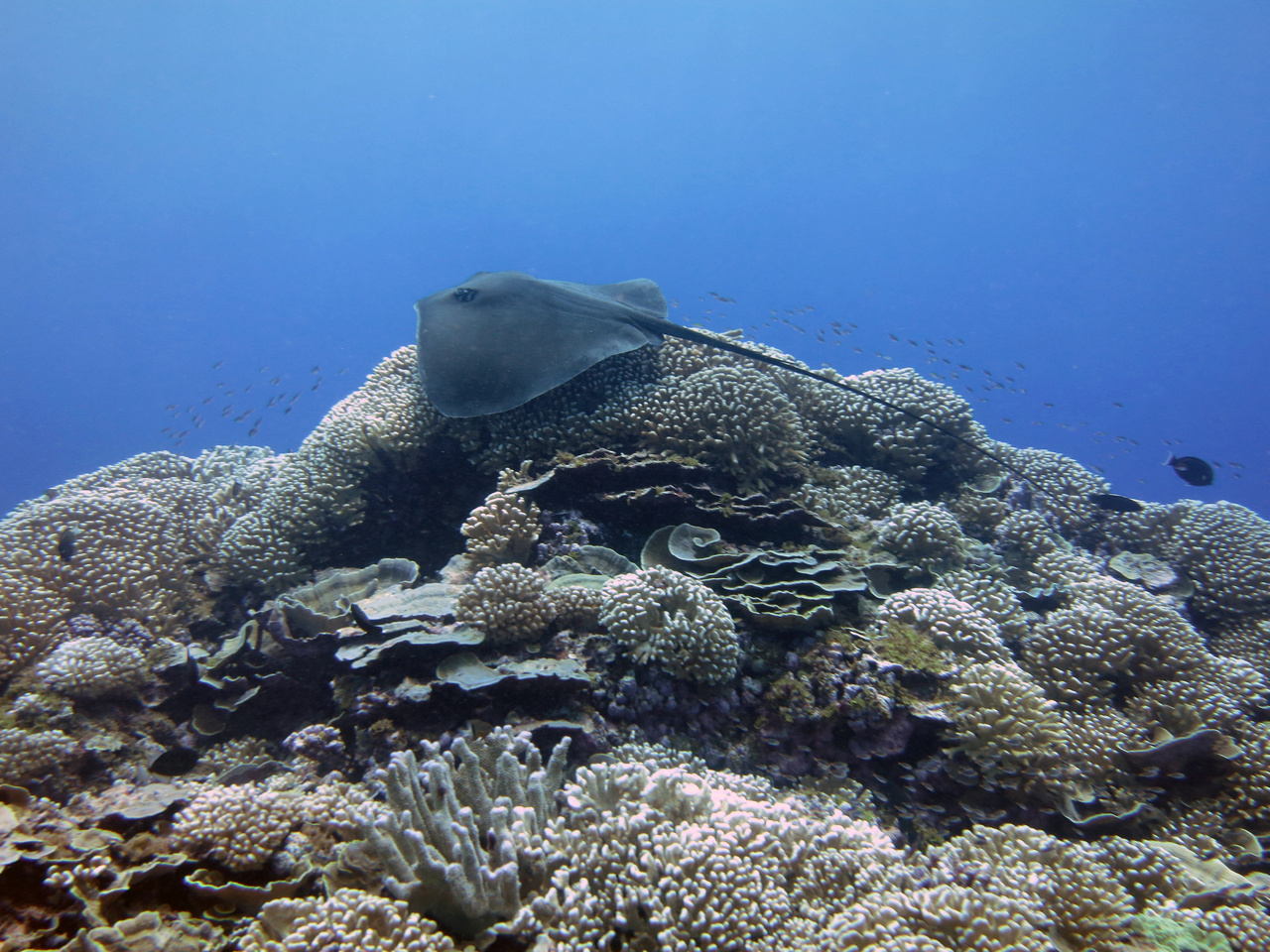 Pink whipray (Himantura fai) on coral reefs at Swains Island in American Samoa