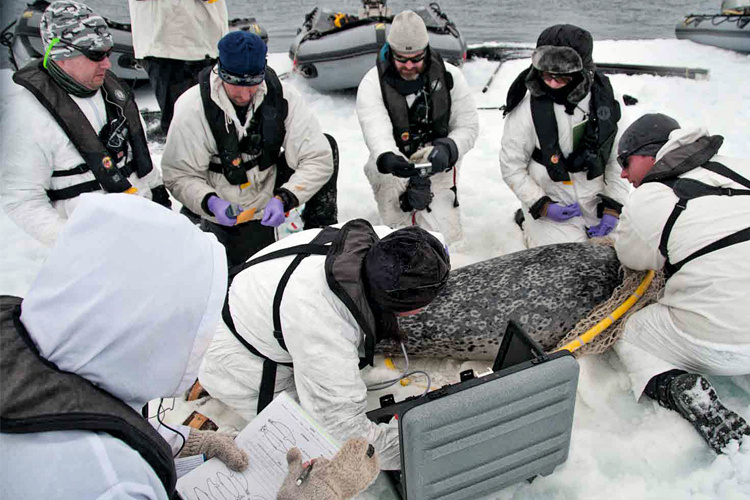 Scientists use ultrasound on a captured seal to measure the thickness of the blubber layer. Photo credit: David Withrow