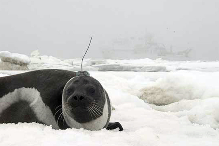 Vessel-based Studies of Ice-Associated Seals.jpg