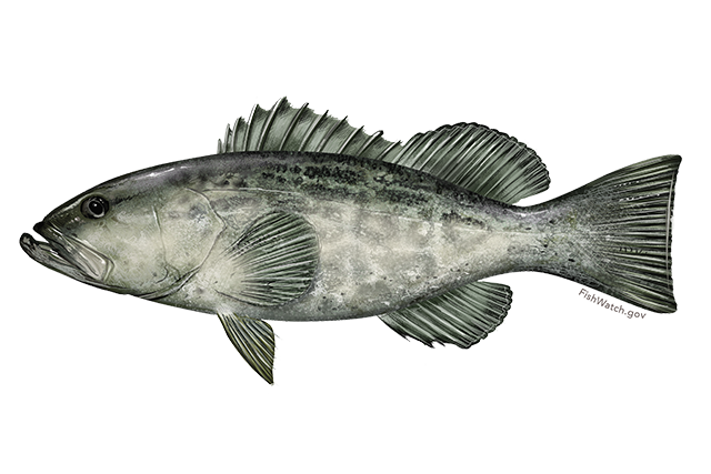 Black grouper illustration