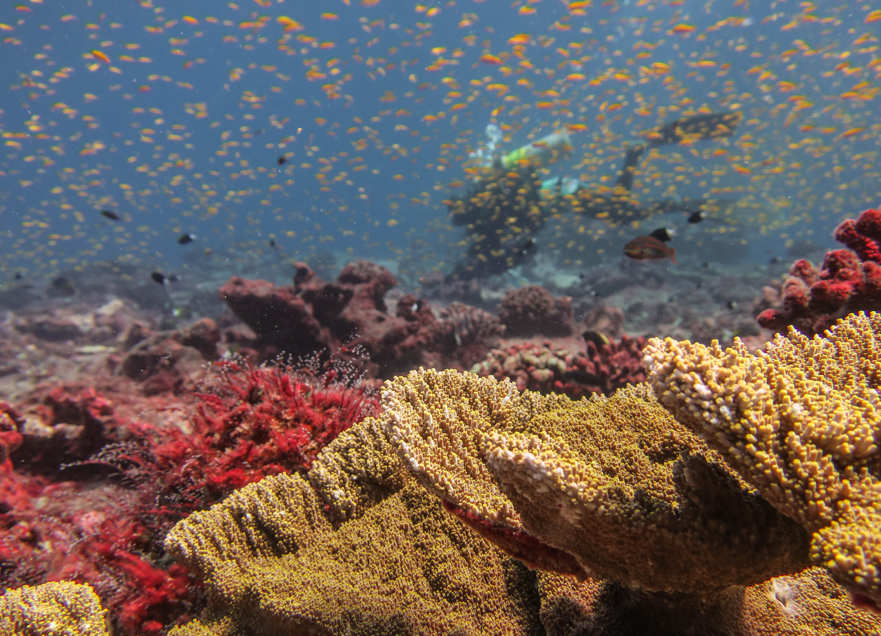 Acropora corals (in the foreground) and red turf algae growing over damaged corals at Jarvis Island in 2017