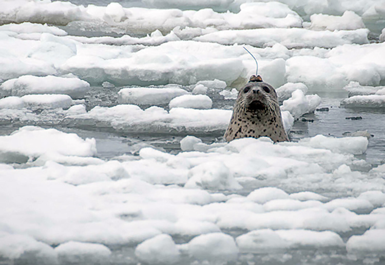 Male spotted seal with head tag.  Photo credit: David Withrow