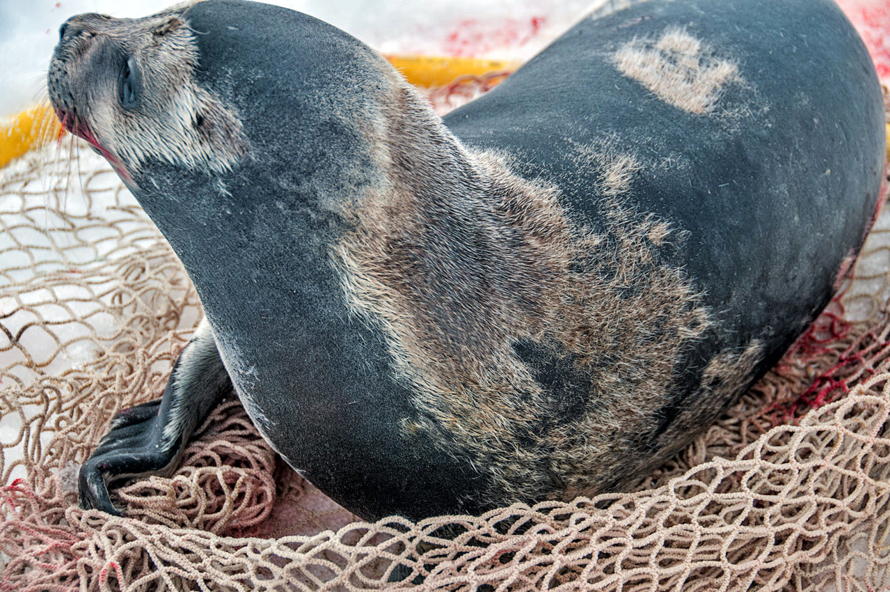 A sickly sub-adult male ribbon seal.  Photo credit: David Withrow (NOAA Fisheries).