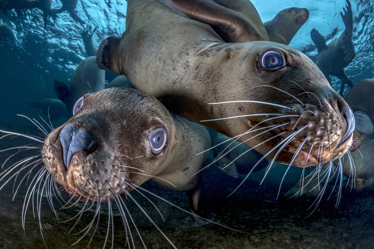 Steller sea lions. Photo Credit: Steve Woods.