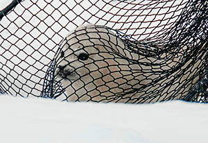 Newborn spotted seal pup.  Photo credit: David Withrow (NOAA Fisheries).