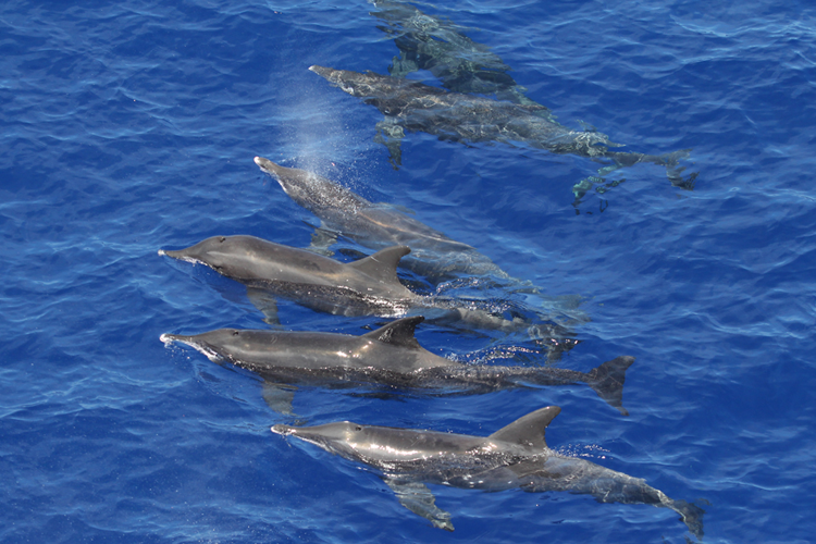 Photo of six rough-toothed dolphins swimming.