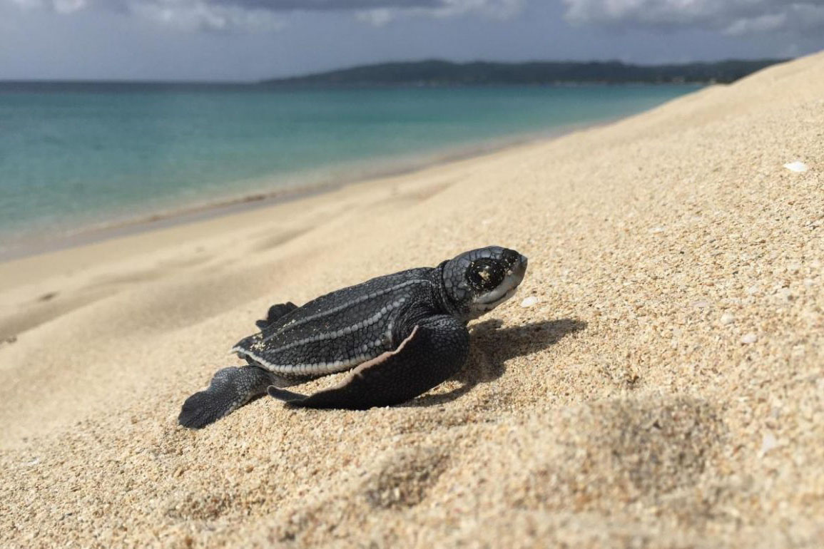 Leatherback hatchling on beach