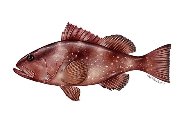 640x427-red-grouper.png