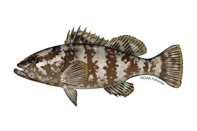 Nassau grouper illustration