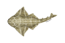Common angelshark illustration