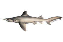 Daggernose shark illustration