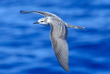 Grey backed tern.
