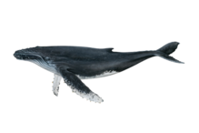 Humpback illustration