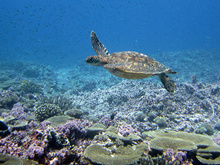 Sea turtle swims above coral reef at Baker Island.