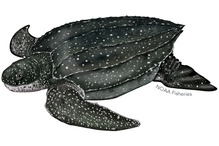 Illustration of leatherback sea turtle