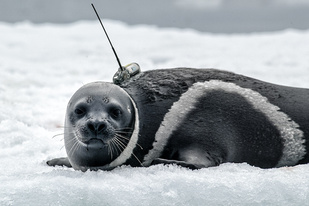 A ribbon seal with attached transmitter.