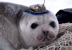 icesealecology_seal_w-headtag-retouched.jpg