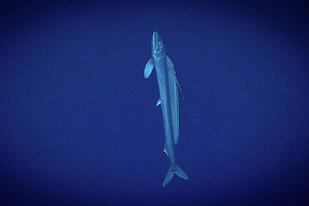 A long lancetfish with a large sail swims vertically up in the deep blue sea.