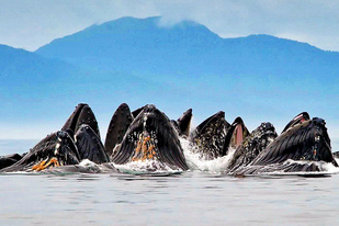Humpback whales bubble net feeding off Southeast Alaska.