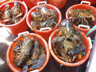 baskets of lobsters