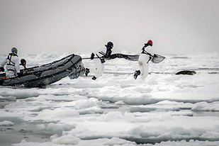 Two seal catchers move to tag a subadult ribbon seal. Photo credit: David Withrow