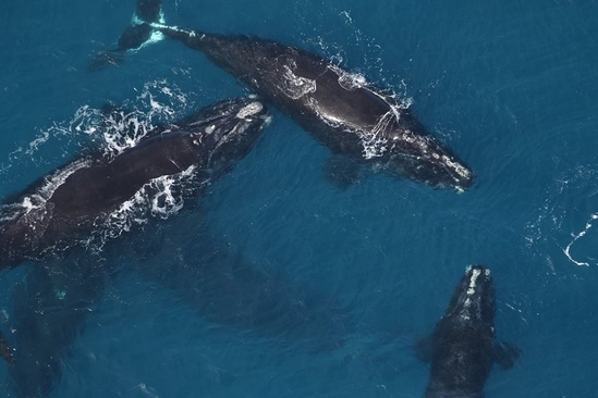 north-atlantic-right-whales-sea-to-shore-alliance.jpg