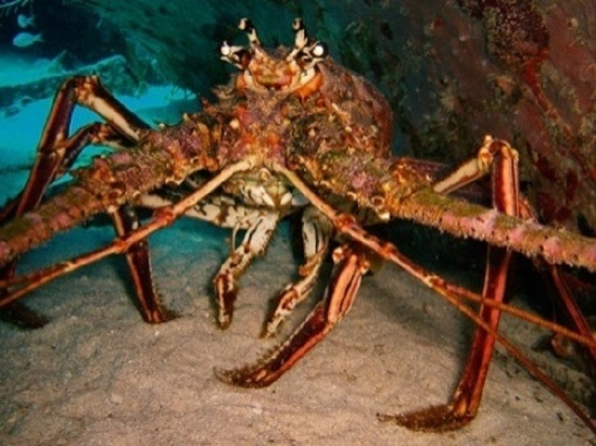 spiny lobster picture