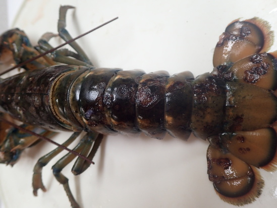 Lobster showing shell disease on tail.