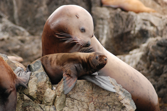 A Steller sea lion and her pup.