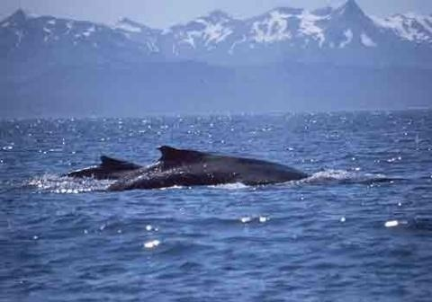 Two humpback whales breaking the surface.
