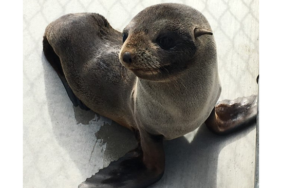 Guadalupe fur seal in a rehabilitation facility